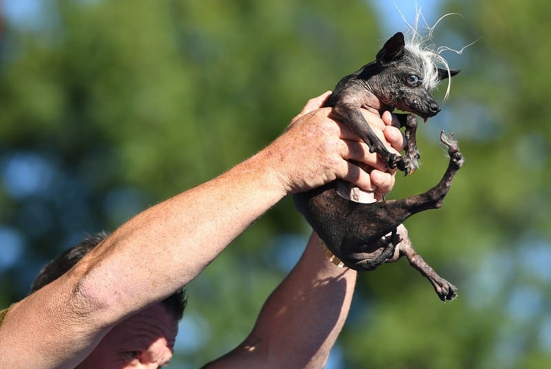 The World's Ugliest Dog Is a Blind, Incontinent Chihuahua With a Mohawk