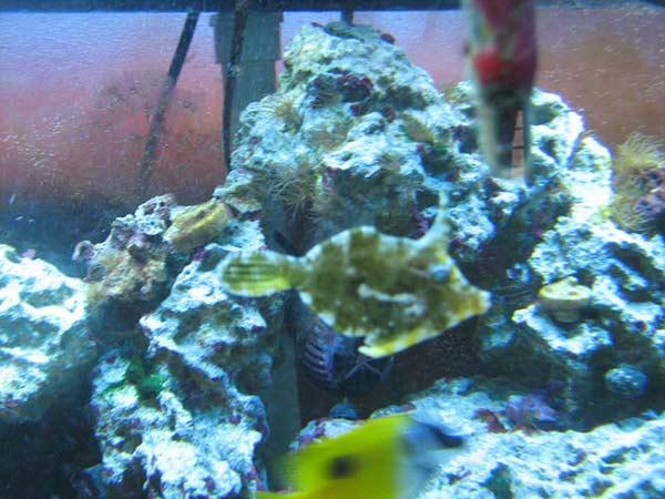 Fotm march 2013 3reef aquarium forums for Aiptasia eating fish