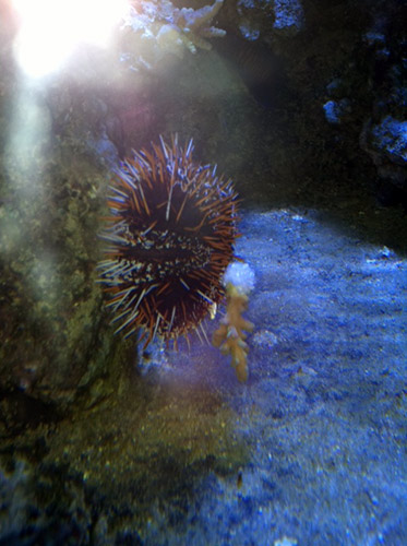 http://s3.amazonaws.com/3reef-Images/urchins-frags.jpg