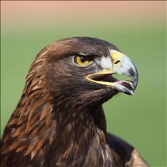 6- War Eagle