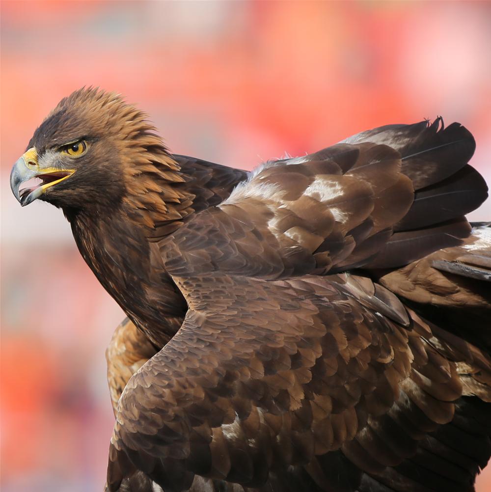 7 War Eagle