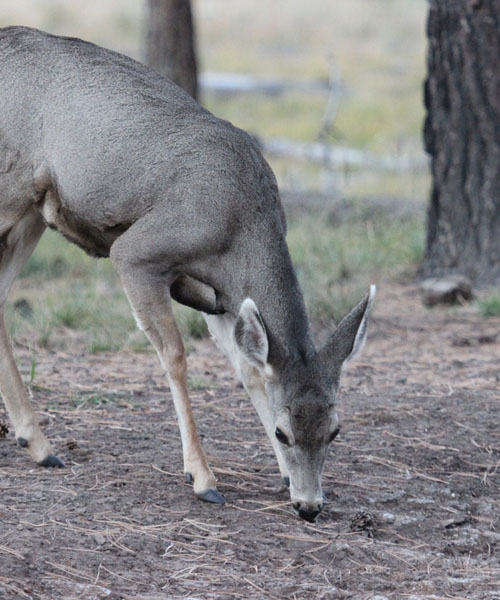 Deer Hunting California: Everything You Need to Know