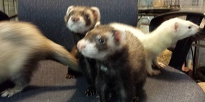 Connect with the Frisky Ferrets group