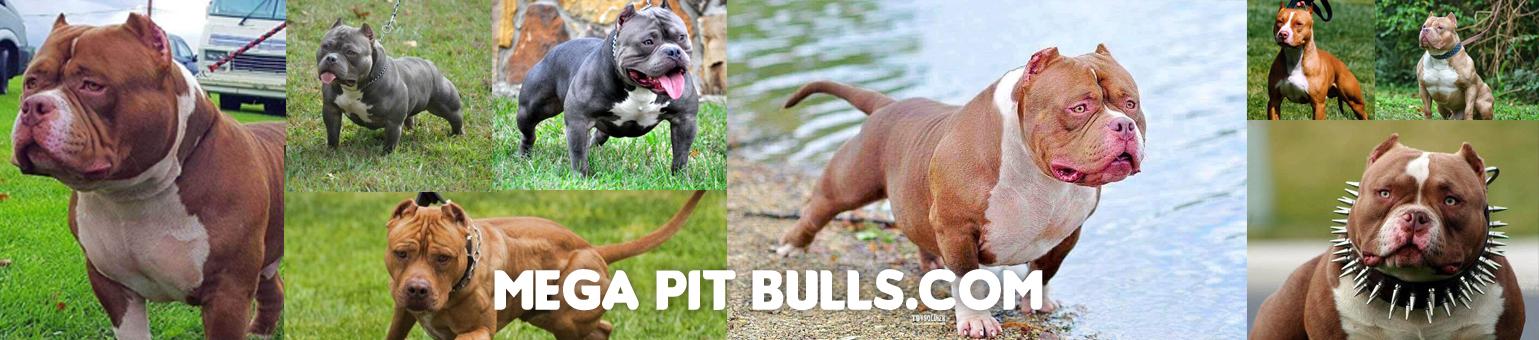 Pit-bull-banner002