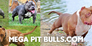 Connect with the Mega Pitbulls group