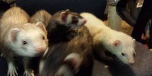 read about Cute Ferrets