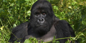 read about Mountain Gorillas Safari in East African Region- Facts about the Mount