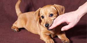 read about Why do dogs/puppies bite and how to teach them to stop biting.