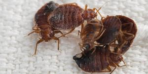read about What to Know About Bed Bugs?