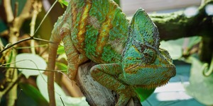 read about What can you feed a veiled chameleon?