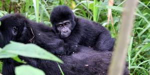 read about What should you know about Uganda Gorilla Trekking Tours?