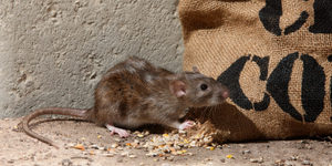 read about How To Get Rid Of Rats That Inhabit In The Attic Easily