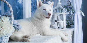 read about White Husky Dog: Brushing and Bathing