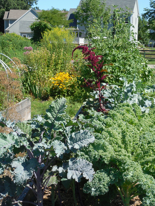 Kale in raised bed