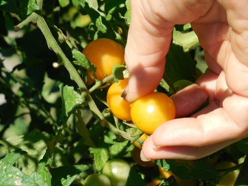 Honey drop tomatoes