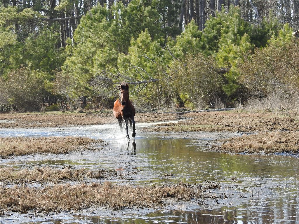 Photos from the 2018 Spring Round-Up on Chincoteague Island VA