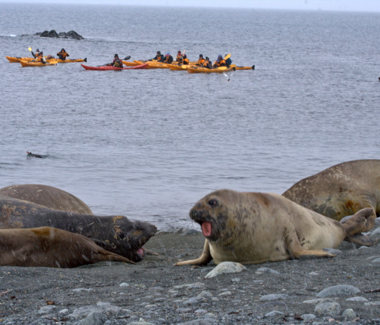 Seals and Kayakers in Antarctica