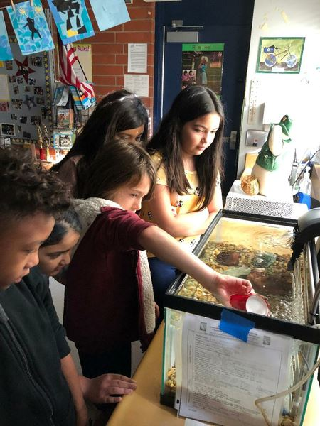 Rainbow Trout eggs from CDFW arrived January 17! Four Culver City school district teachers and their students placed the eggs into their aquariums to await the eggs' hatching around January 25.