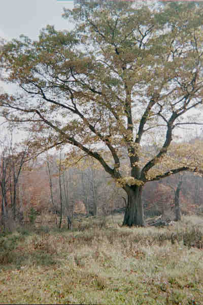 Largest Red Oak Tree in NJ