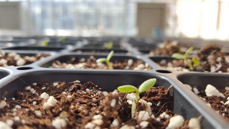 germinating seedlings