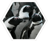 Help test new research techniques to protect  South African Penguins