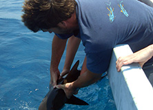 Scientist releasing shark after tissue sampling