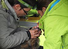 Dr. Aurelie Cohas studying marmot