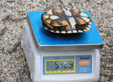 Weighing a freshwater turtle