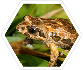 Study endangered frogs in Australia