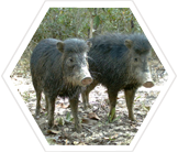 White-lipped peccaries, Brazil