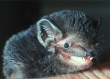 Microbat species, Melbourne, Australia