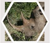Endangered black rhino, grazing