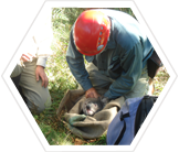 Earthwatch volunteer assisting with koala population monitoring