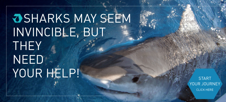 Sharks may seem invincible, but they need our help!