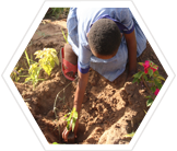 Research volunteer planting mangrove seedlings, Kenya