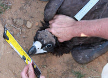 Scientist measuring a cinerous vulture