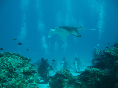 Divers on an Earthwatch expedition sight a manta ray