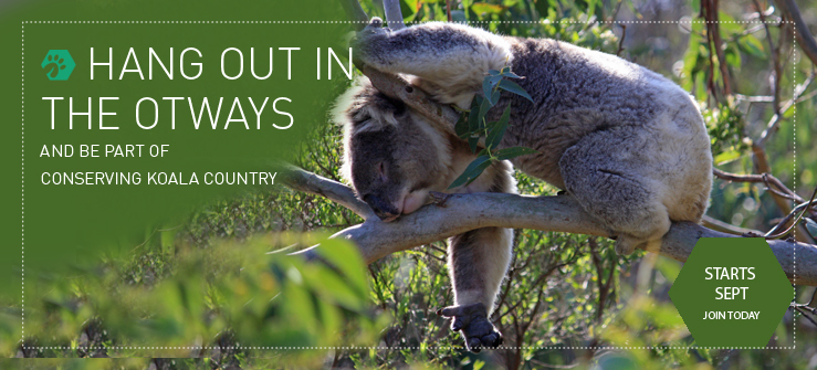 Hang Out in the Otways - Conserving Koala Country