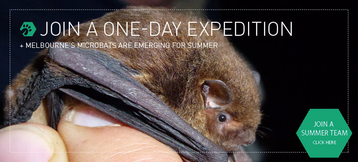 Join a dusk-till-dawn expedition and discover Melbourne's tiniest resident: the microbat.