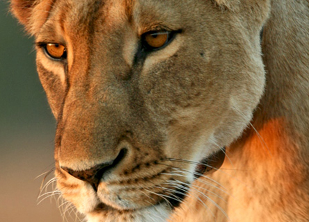 lions-prey-kenya-science-volunteer-research