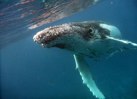 A juvenile humpback whale.