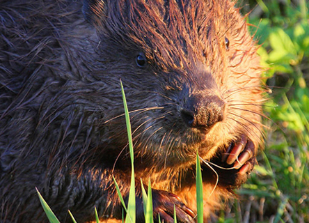 beaver-germany-science-research