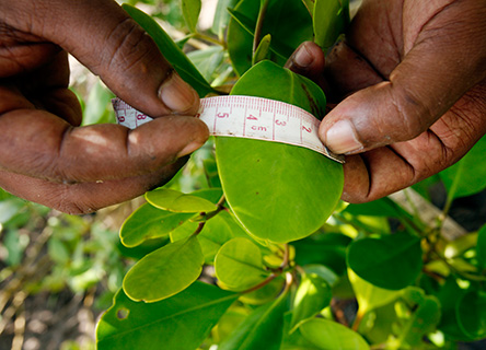 Earthwatch volunteers can join a mangroves research project on the Kenyan coast.