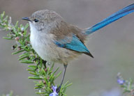 splendid-fairy-wren-climate-watch-earthwatch