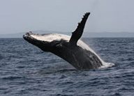 humpback-whale-climate-watch-earthwatch