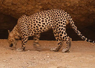 cheetah-science-research