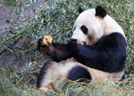 On the Trail of the Giant Panda