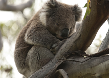 Conserving Koala Country