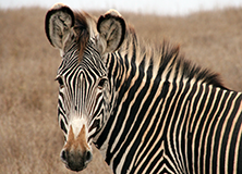 Conserving Grevy's Zebras in the Samburu
