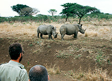 White rhinos in Hluhluwe-iMfolozi Park, South Africa